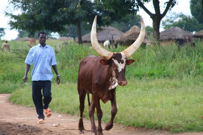 Man and cow, Internal Displacement Camp, Gulu, Uganda, Africa