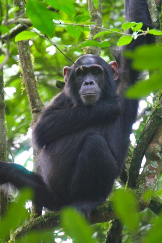 Chimpanzee, Kibale Forest National Park, Uganda, Africa