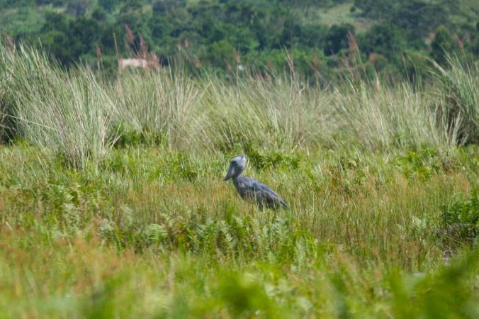 Shoebill Stork, Lake Victoria, Uganda, Africa