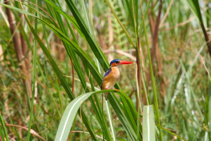 Malachite Kingfisher, Lake Victoria, Uganda, Africa
