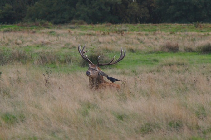 Red Deer with bird in Richmond Park, London, England