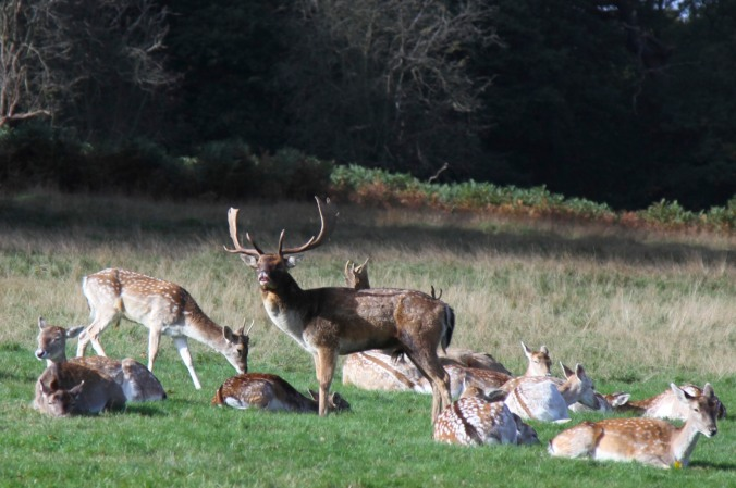 Fallow Deer in Richmond Park, London, England