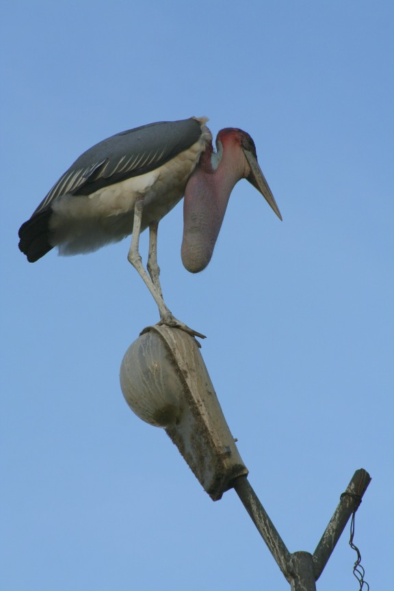 Marabou Stork, or Undertaker Bird, Owino Market, Kampala, Uganda, Africa