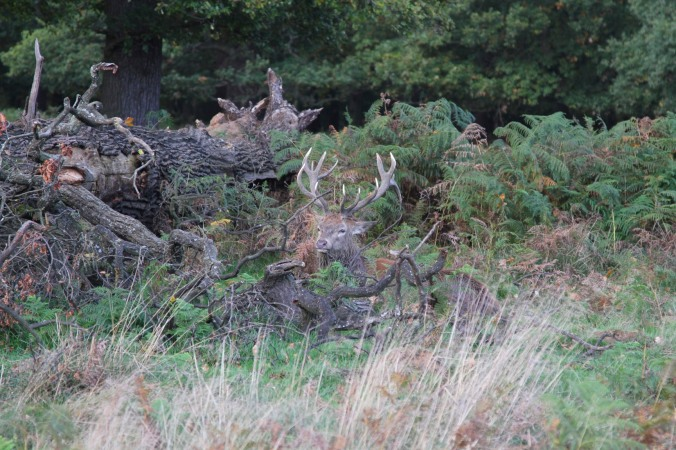 Red Deer in Richmond Park, London, England