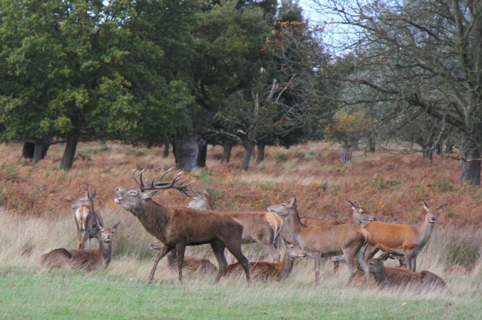 Red Deer in Richmond Park, London, England