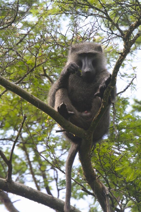Baboon, Bigodi Wetland Sanctuary, Kibale Forest National Park, Uganda, Africa