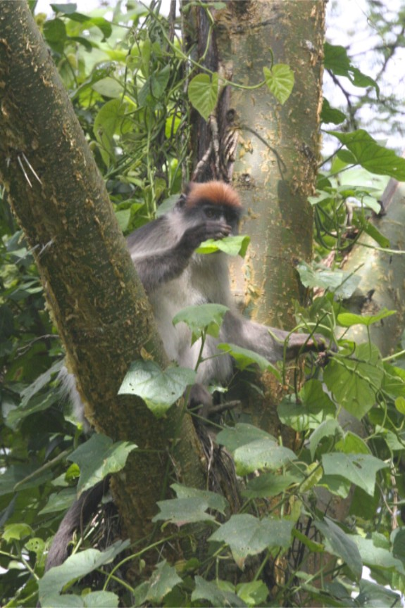 Red Colobus, Bigodi Wetland Sanctuary, Kibale Forest National Park, Uganda, Africa