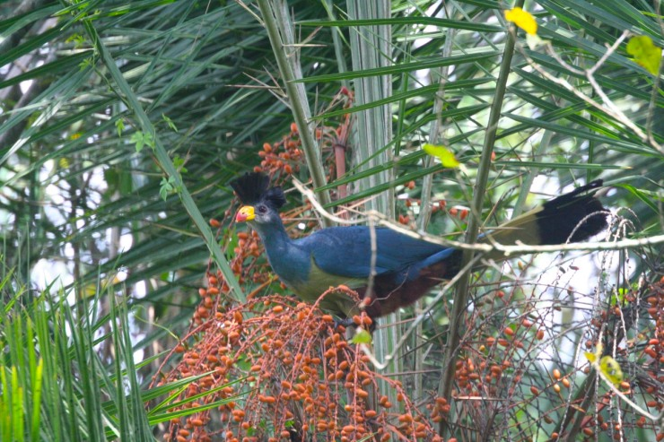 Great Blue Turaco, Bigodi Wetland Sanctuary, Kibale Forest National Park, Uganda, Africa