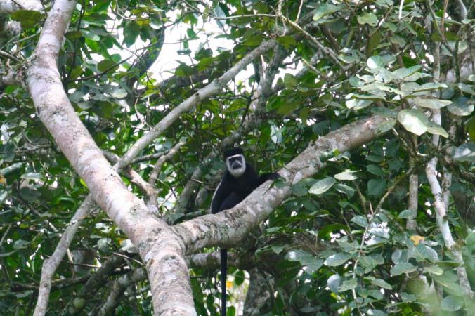 Black and White Colobus, Bigodi Wetland Sanctuary, Kibale Forest National Park, Uganda, Africa, Bigodi Wetland Sanctuary, Kibale Forest National Park, Uganda, Africa