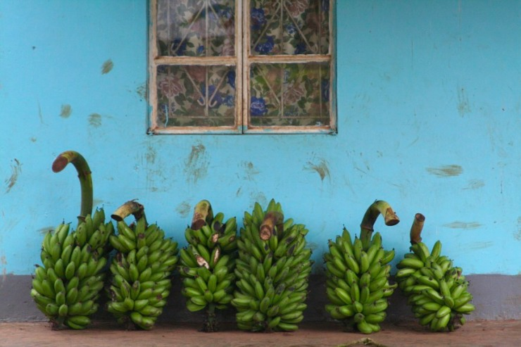 House with plantain, Kibale Forest National Park, Uganda, Africa