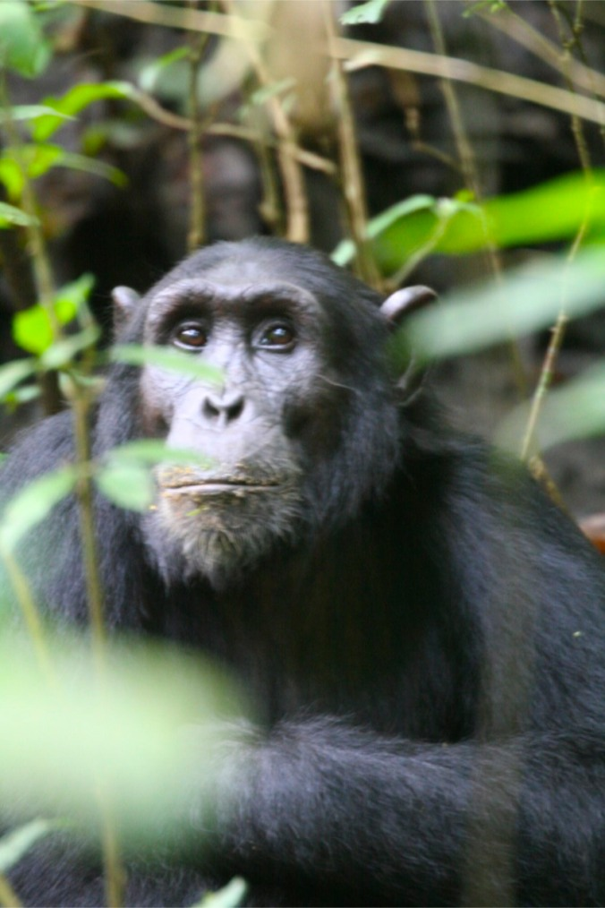 Chimpanzees in Kibale Forest National Park, Uganda, Africa