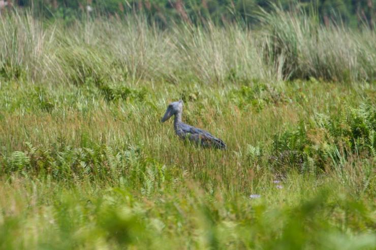 Shoebill Stork, Mabamba Wetlands, Lake Victoria, Uganda, Africa