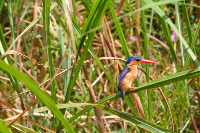 Malachite Kingfisher, Mabamba Wetlands, Lake Victoria, Uganda, Africa