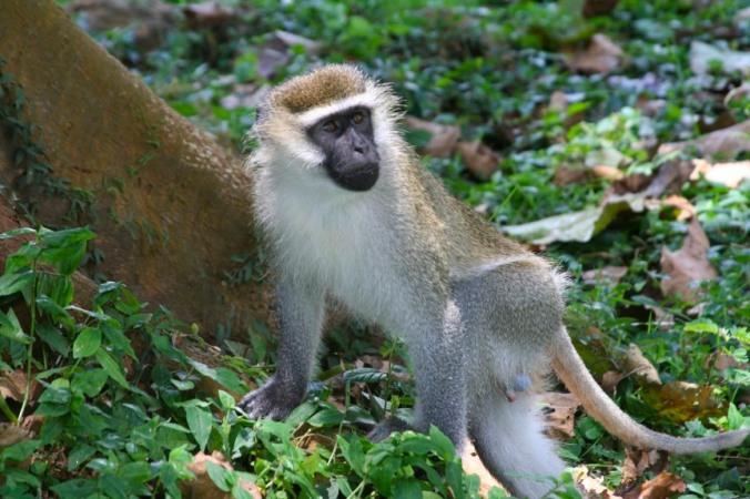 Vervet, Bigodi Wetland Sanctuary, Kibale Forest National Park, Uganda, Africa