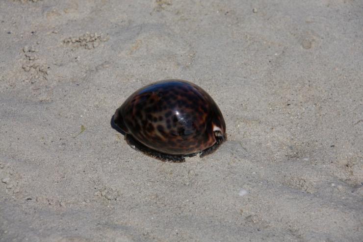 Sea urchin, walking back to Ibo, Quirimbas Archipelago, Mozambique, Africa