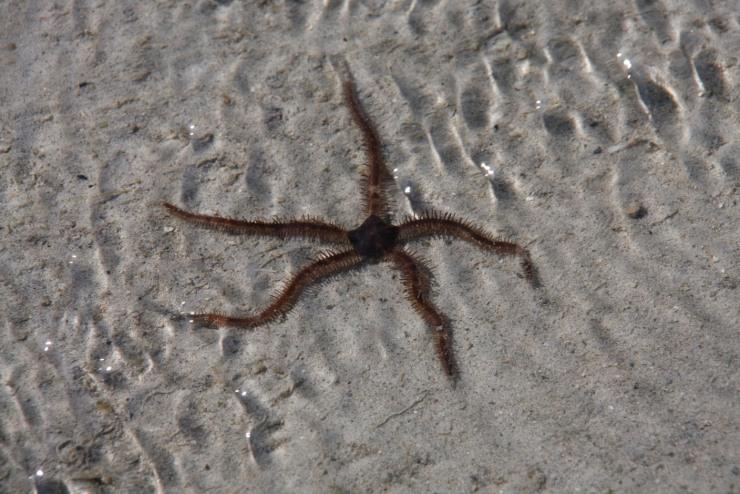 Starfish, walking back to Ibo, Quirimbas Archipelago, Mozambique, Africa