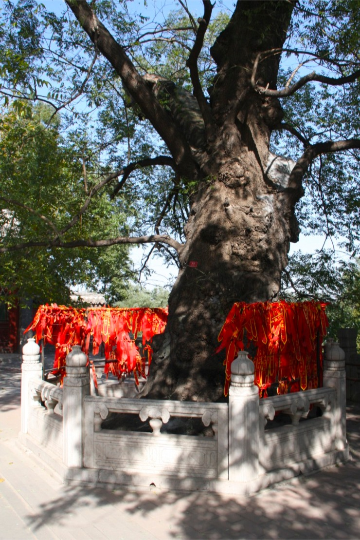Ancient pine tree, Jietai Si temple, Beijing, China