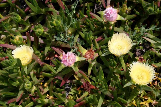 Flowers, Cabo de Roca, the western-most point of Europe, Portugal