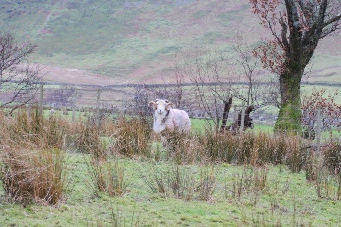 Impressive ram in Newlands Valley, Lake District, Cumbria