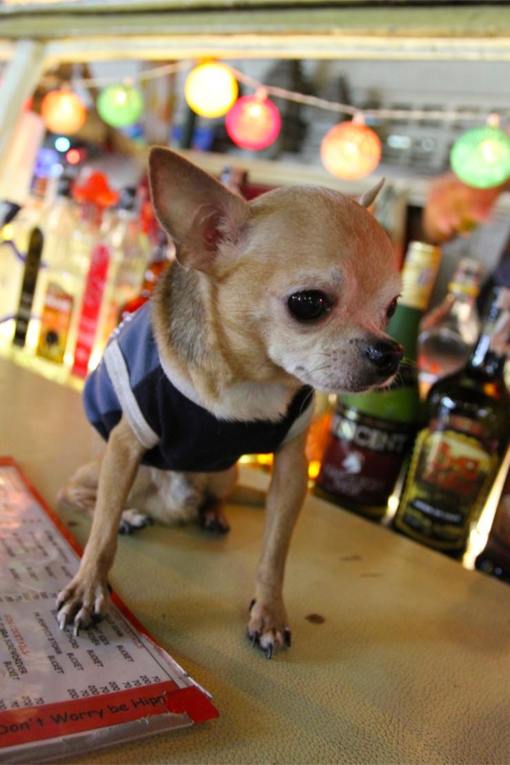 Bar hound, Khao San, Bangkok, Thailand