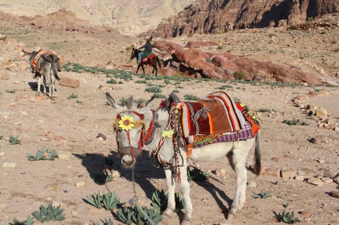 Donkey, Petra, Jordan