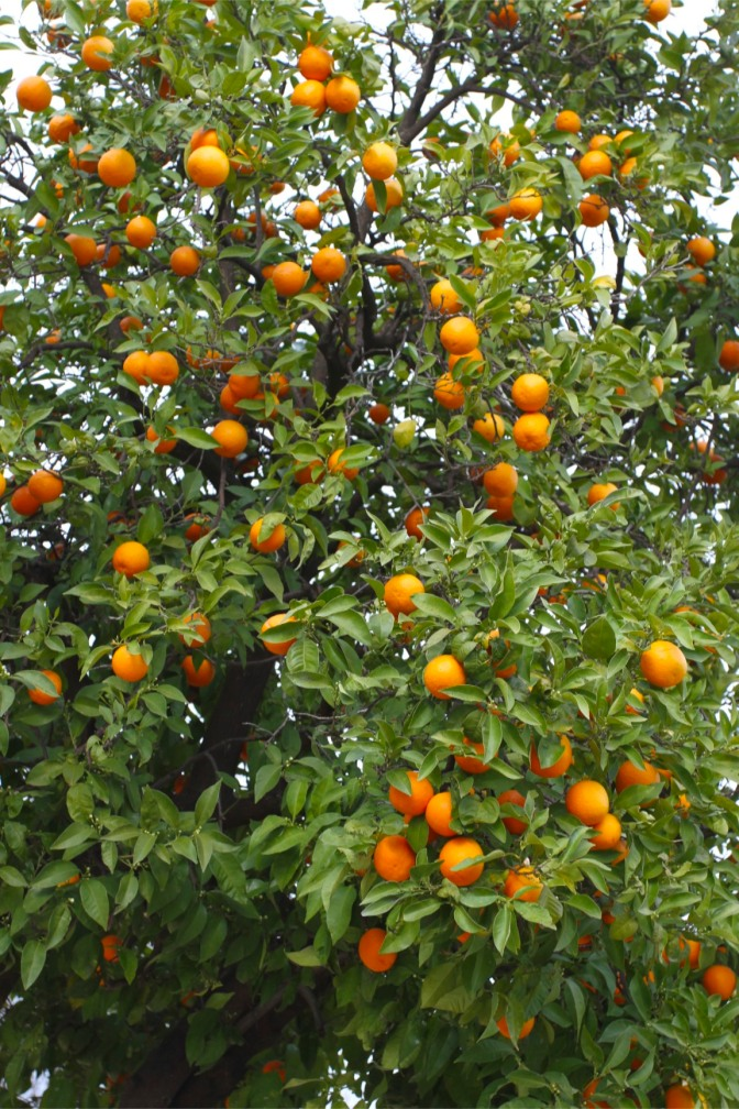 Orange tree, Cordoba, Andalusia, Spain