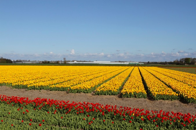 The tulip season, Netherlands