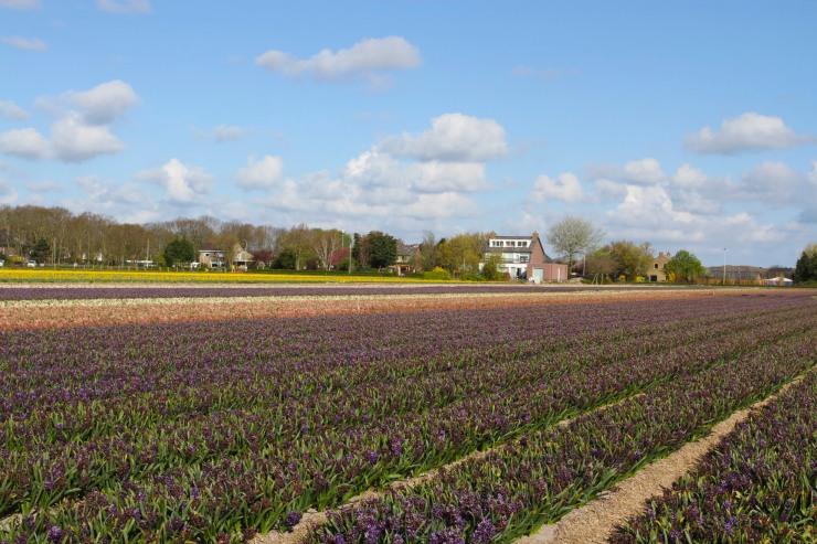 The tulip season, Netherlands