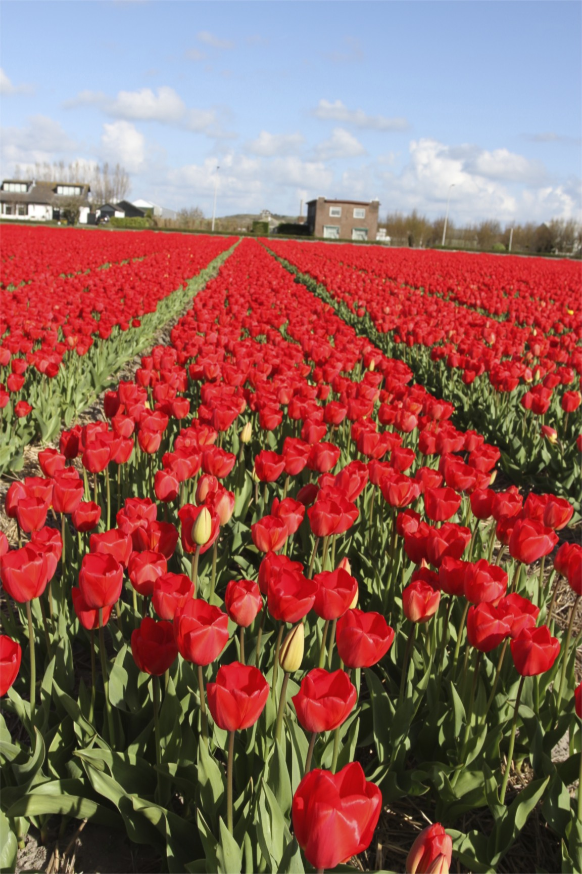 Tulip fields notesfromcamelidcountry for What season are tulips