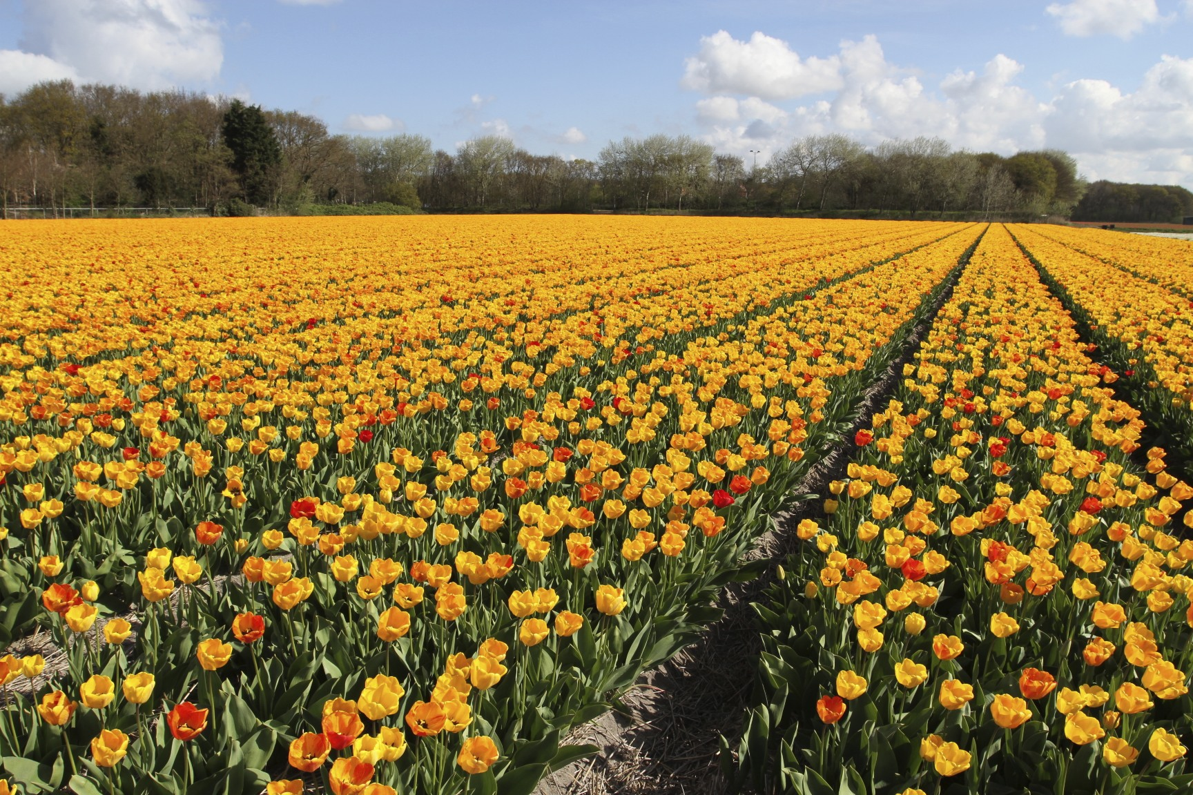 The tulip season netherlands notesfromcamelidcountry for What season are tulips