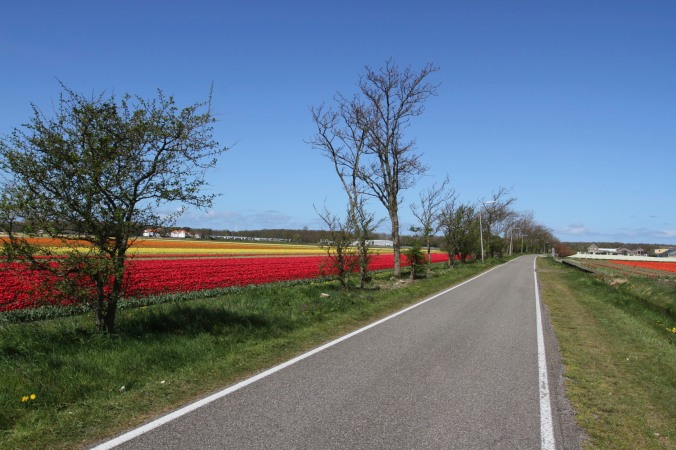 Cycle path on the tulip route, Netherlands