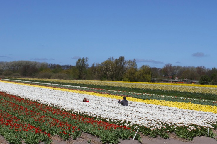 Amongst the tulips, tulip season, Netherlands