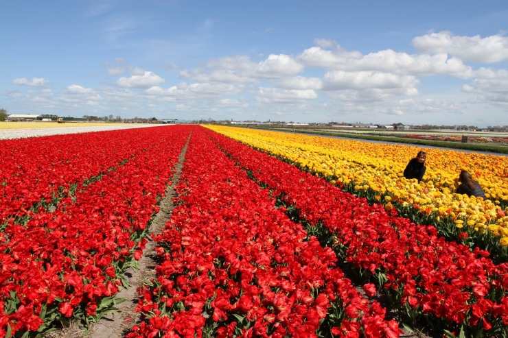 Amongst the tulips, tulip season, Netherlands