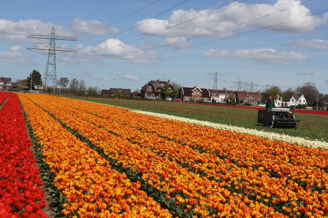 Tulips being harvested, tulip season, Netherlands