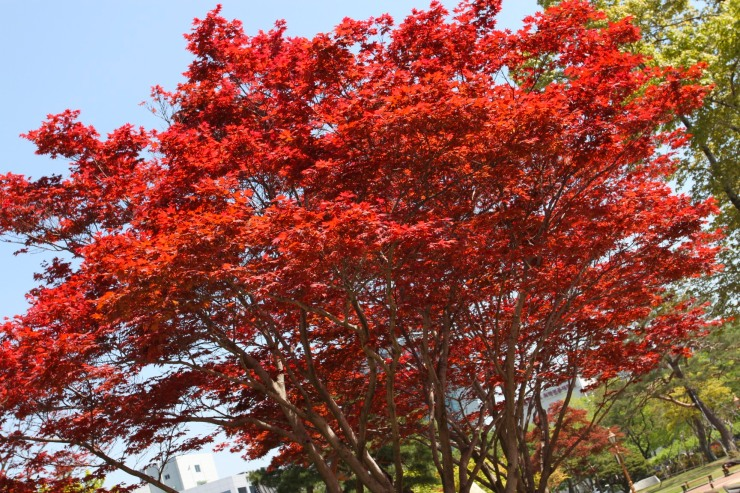 Spring tree, Daegu, South Korea