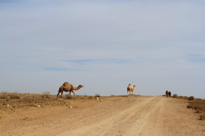 Camels on the way to Umm er-Rasas, Jordan