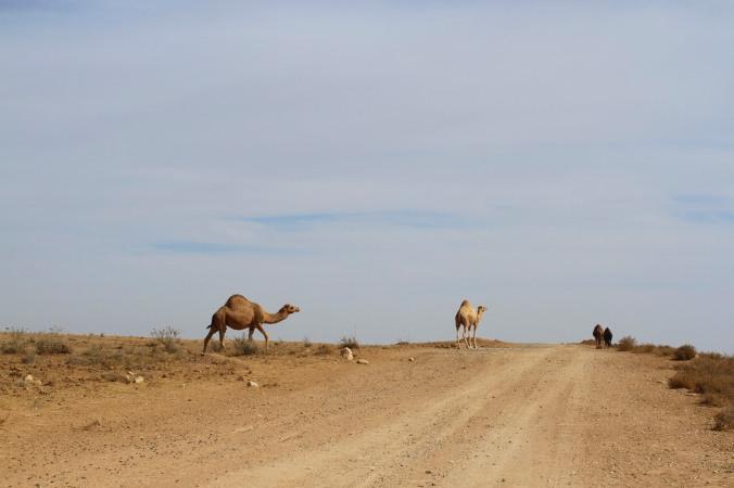 Camels on the way to Umm er-Rasas, Jordan