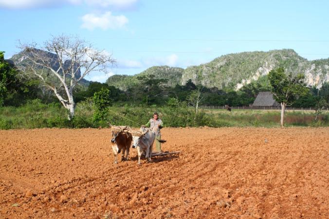Ploughing, Valle de Silencio, Vinales