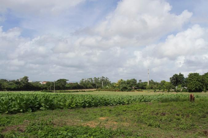 Tobacco plants, Robaina cigar plantation, Pinar del Rio, Cuba