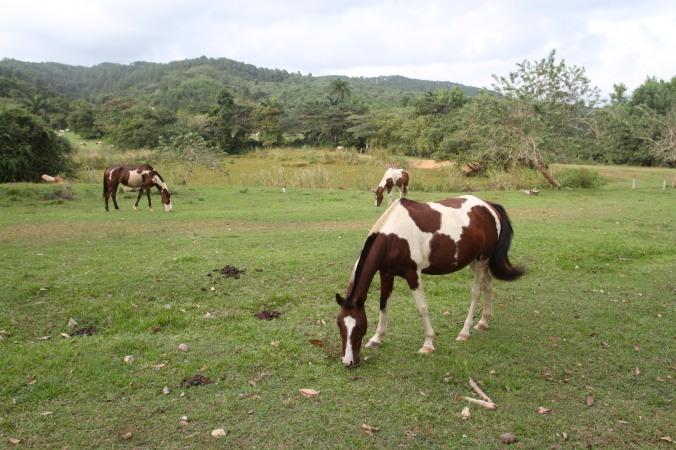 Horses on the Finca la Guabina, Cuba