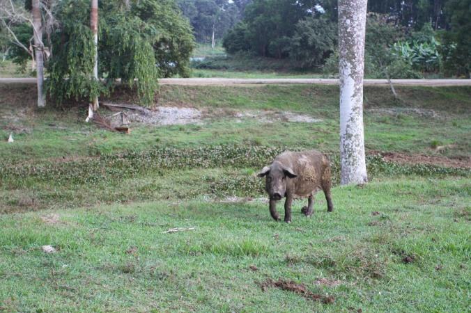 Pig, Finca la Guabina, Cuba
