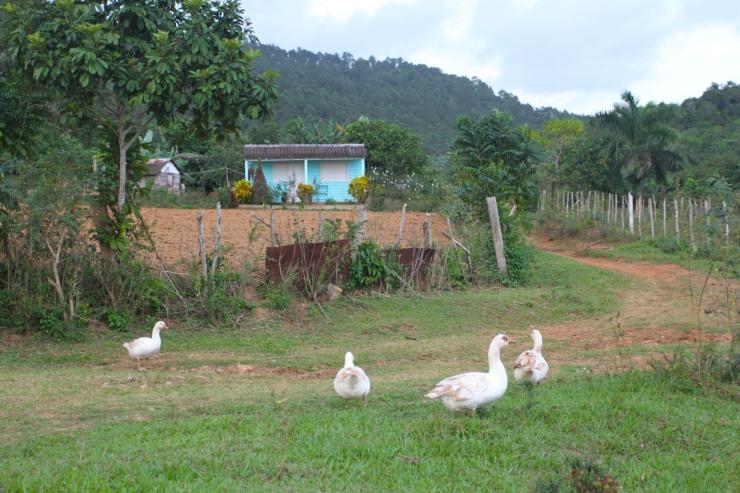 Geese, Finca la Guabina, Cuba