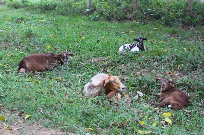 Sheep, Finca la Guabina, Cuba