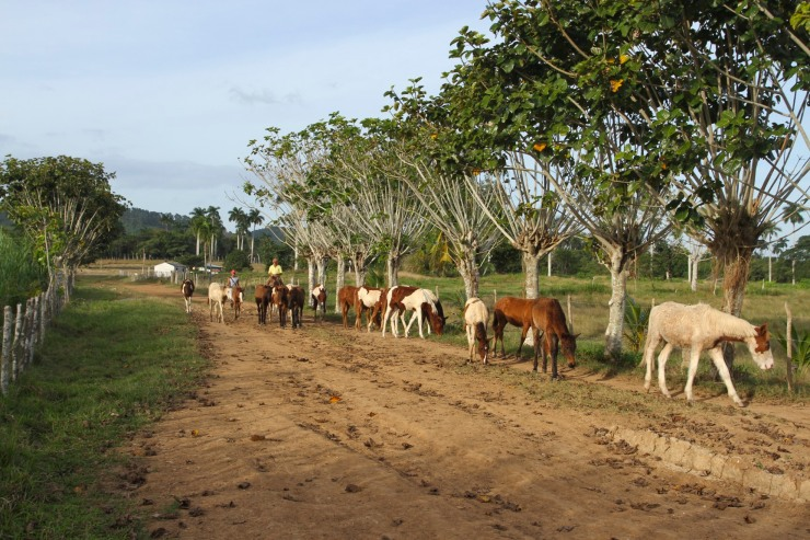 Horses on the Finca la Guabina, Cuba