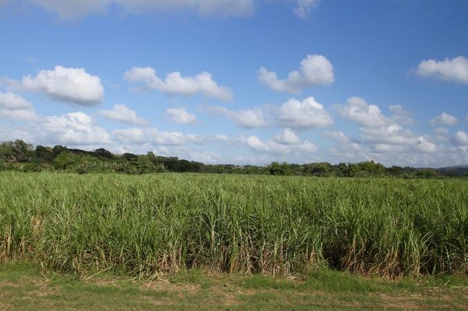 Sugarcane, Valle de los Ingenios, Cuba