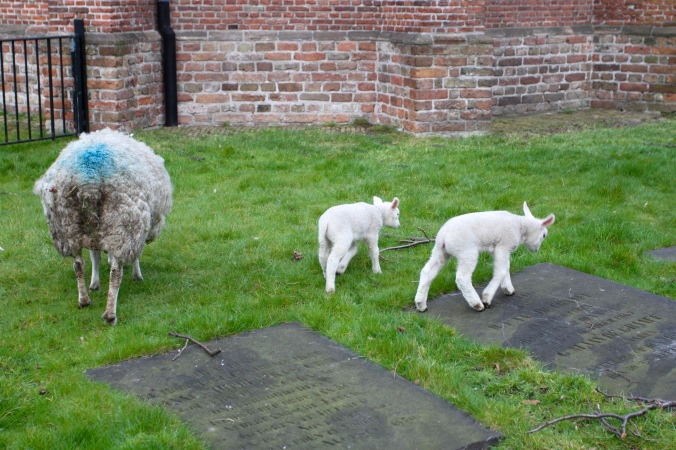 Sheep in the churchyard, Voorburg, Netherlands