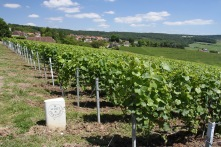 Moet et Chandon vines, Hautvillers, Champagne, France
