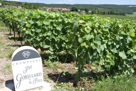 Vines, Hautvillers, Champagne, France