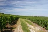 Grand Cru chardonnay, Monthelon, Champagne, France
