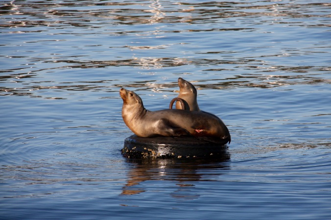 Sea Lions, Monterey, California, USA